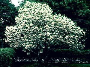 white fringe tree ohioSandy Bottom tsxJkxqS