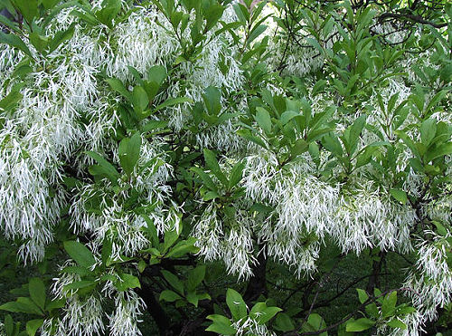 why is my fringe tree not bloomingAmerican Fringe Tree Chionanthus Virginicus Flowering Tree for dRM3Ky2A