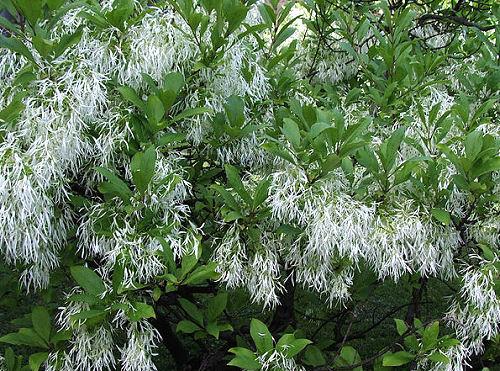 yellow fringe tree chionanthus virginicusAmerican Fringe Tree Chionanthus Virginicus Flowering Tree for ESiqyeI8