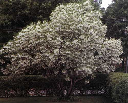 american american fringe tree pictureFringe Tree  Pictures Photos Images Facts on Fringe Trees 0AfagMnp