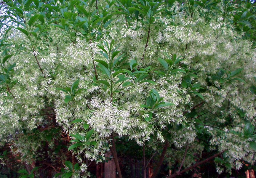 american fringe tree pictureornamental trees pJ1Ofl2U