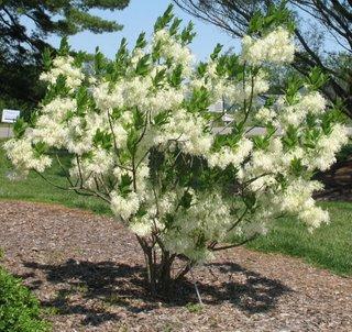 american fringe trees for saleornamental trees DXqLJ4CX