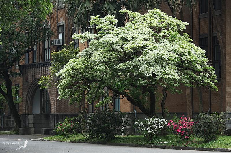 american white fringe tree picturesChinese Fringetree   Casey Trees eayxxchc