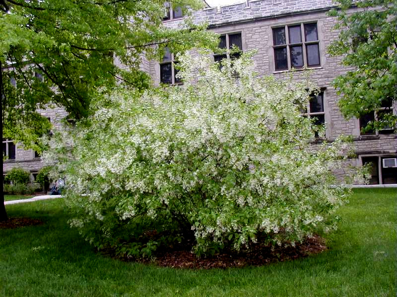 dwarf white fringe tree picturefringe tree CAROLYNS SHADE GARDENS QOC1zkHi