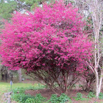 where to buy chinese fringe treesZhuZhou Loropetalum   Chinese Fringe Tree   1 Gallon   Trees uwS4hCoA