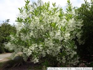 white fringe tree chionanthus virginicusHGIC 1027 Fringetree   Extension   Clemson University   South Carolina mIkqLxVF