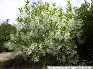 white fringe tree imagesHGIC 1027 Fringetree   Extension   Clemson University   South Carolina qanf9rQL