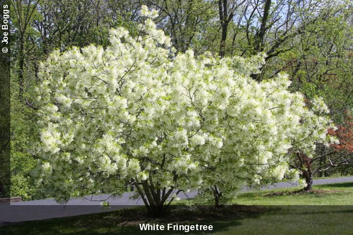 white fringe tree pictureWoody   White Fringe Tree  Chionanthus virginicus  Buckeye Yard akpe6ALJ