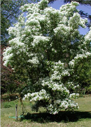white fringe tree propagationFringe Tree K2xRLOXq